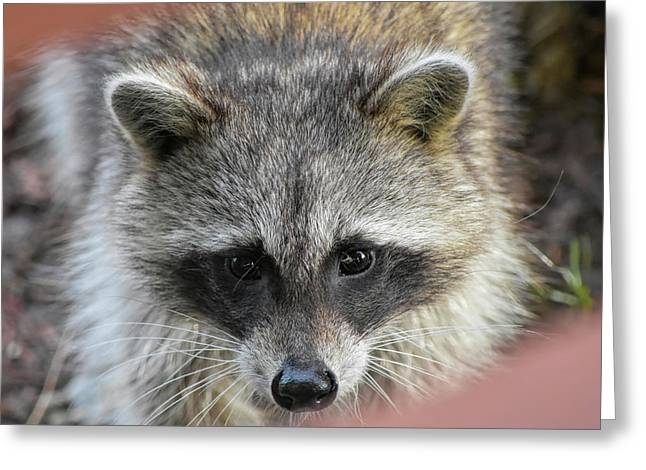 Raccoon's Gorgeous Face Greeting Card