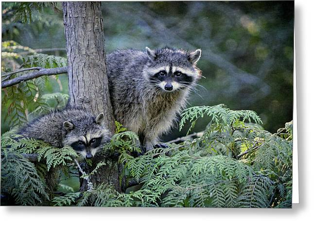 Raccoons In Stanley Park Greeting Card