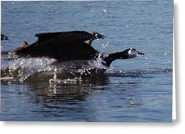 Greeting Card featuring the photograph Racing Geese by Sumoflam Photography