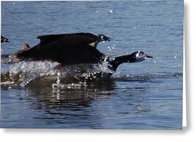 Racing Geese Greeting Card