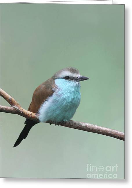 Racket-tailed Roller V2 Greeting Card