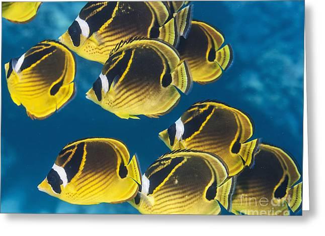 Racoon Butterflyfish  Chaetodon Lunula Greeting Card by Thomas Kline