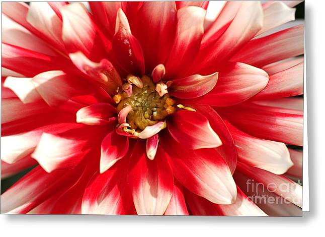 Radiant Dahlia Greeting Card