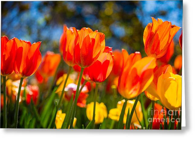 Radiant Tulips Greeting Card by Inge Johnsson