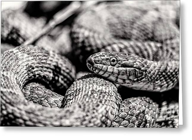 Radnor Lake Northern Water Snake Black And White Greeting Card