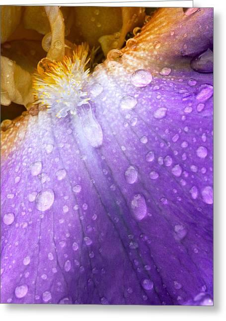 Rain Covered Iris Greeting Card by Amanda Kiplinger