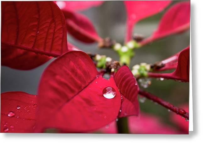 Rain Drop On A Poinsettia  Greeting Card