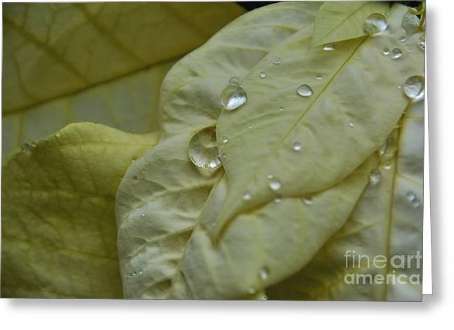 Rain Drops On A  White Poinsettia Greeting Card