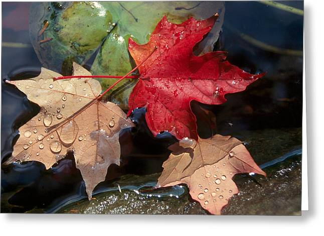 Rain Drops On Leaves Greeting Card by Raju Alagawadi
