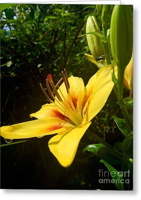 Rain Kissed Tiger Lily Greeting Card
