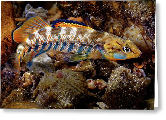 Rainbow Darter Greeting Card
