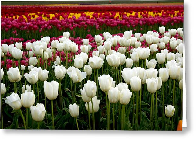 Rainbow Of Tulips Greeting Card by Sonja Anderson
