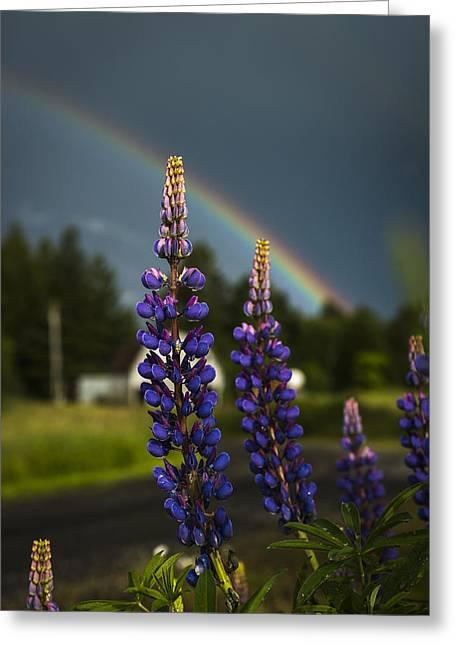 Rainbow Over Lupine  Greeting Card