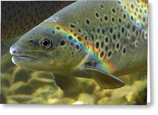 Rainbow Trout 1 Greeting Card by Dan Lease