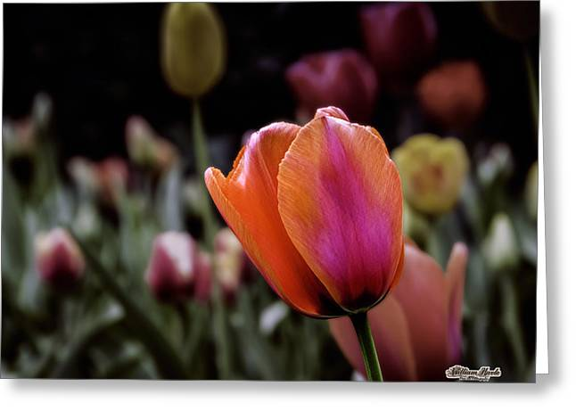 Rainbow Tulip Greeting Card by William Havle