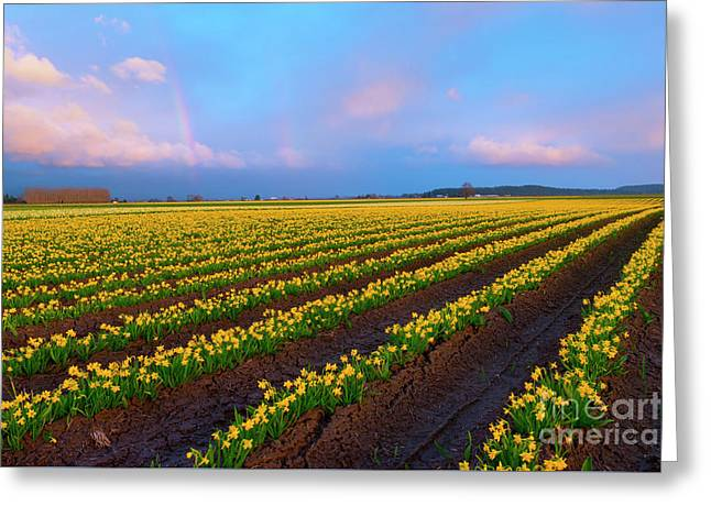 Rainbows, Daffodils And Sunset Greeting Card by Mike Dawson