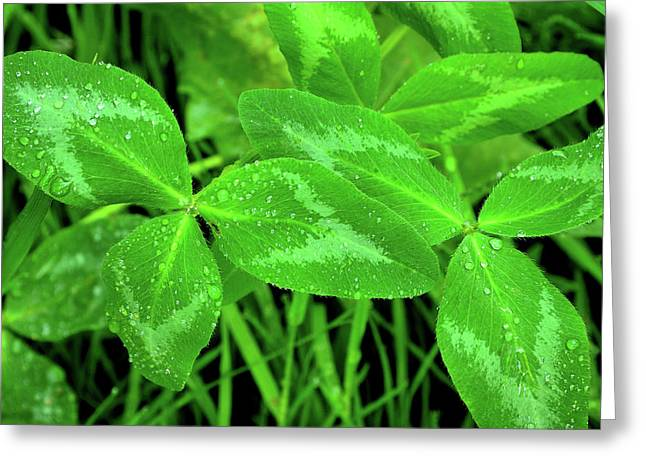 Pretense Greeting Cards - Raindrops on Clover Greeting Card by Thomas R Fletcher
