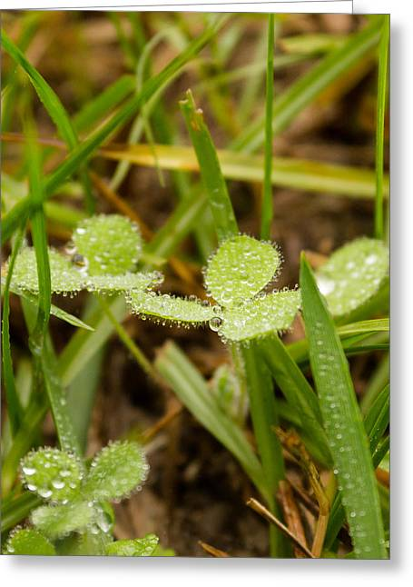 Raindrops On Clovers Greeting Card by Stacy Sikes