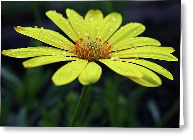 Greeting Card featuring the photograph Raindrops On Daisy by Judy Vincent