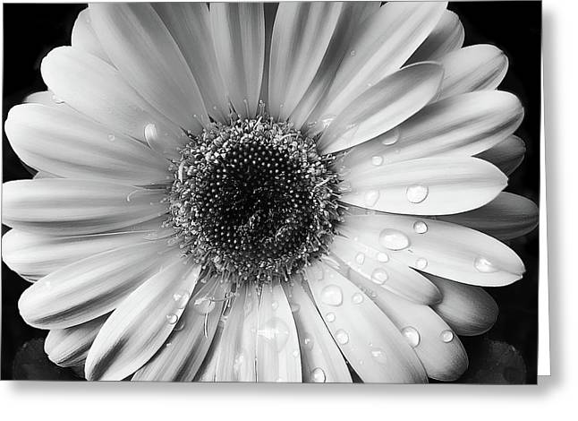 Raindrops On Gerber Daisy Black And White Greeting Card by Jennie Marie Schell