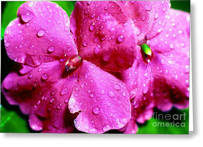 Impatiens Greeting Cards - Raindrops on Impatiens Greeting Card by Thomas R Fletcher