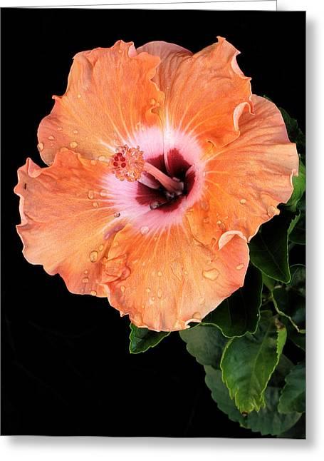 Raindrops On Orange Hibiscus Greeting Card