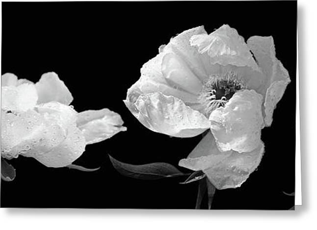 Raindrops On Peonies Black And White Panoramic Greeting Card by Gill Billington