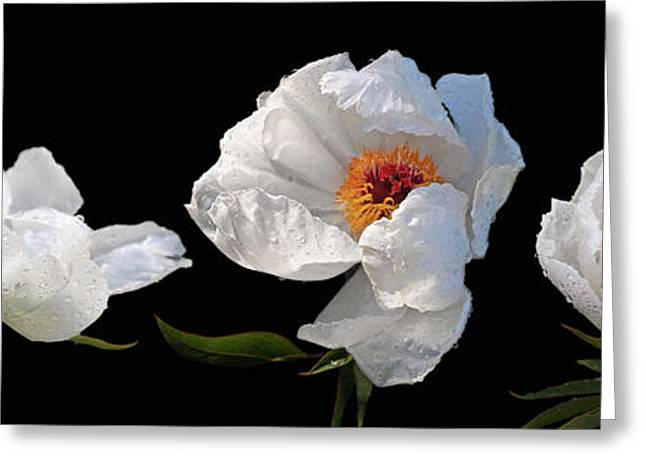 Raindrops On White Peonies Panoramic Greeting Card by Gill Billington
