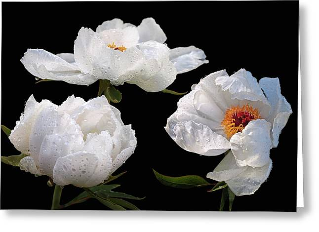 Raindrops On White Tree Peonies Greeting Card by Gill Billington