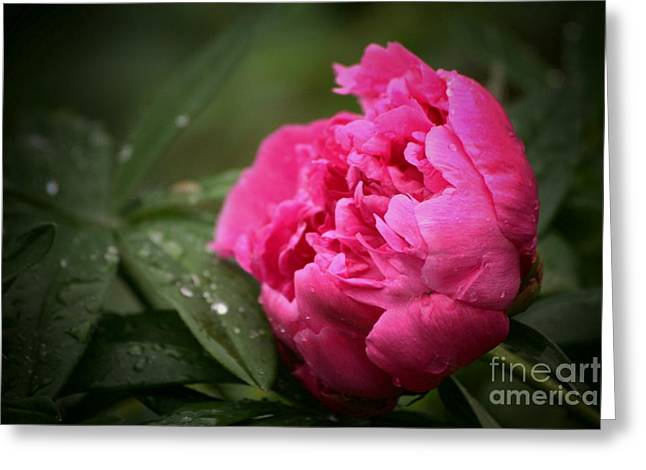 Rainsoaked Peony Greeting Card by Marjorie Imbeau