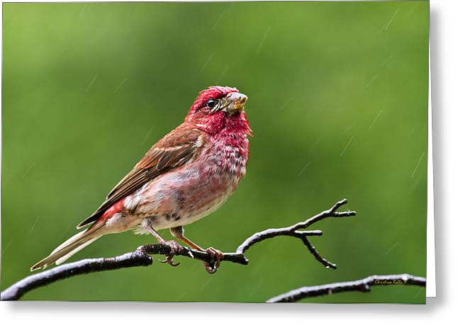 Rainy Day Bird - Purple Finch Greeting Card by Christina Rollo
