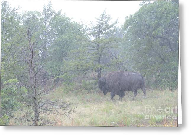 Rainy Day For The Bison Greeting Card by Tamyra Ayles