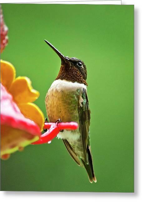 Rainy Day Hummingbird Greeting Card by Christina Rollo