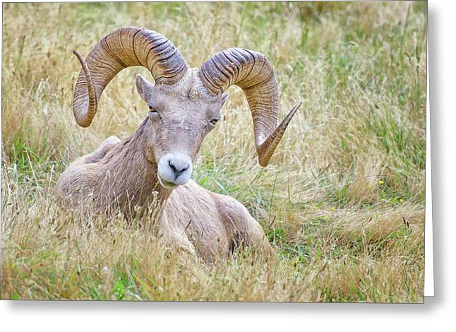 Ram In Field Greeting Card