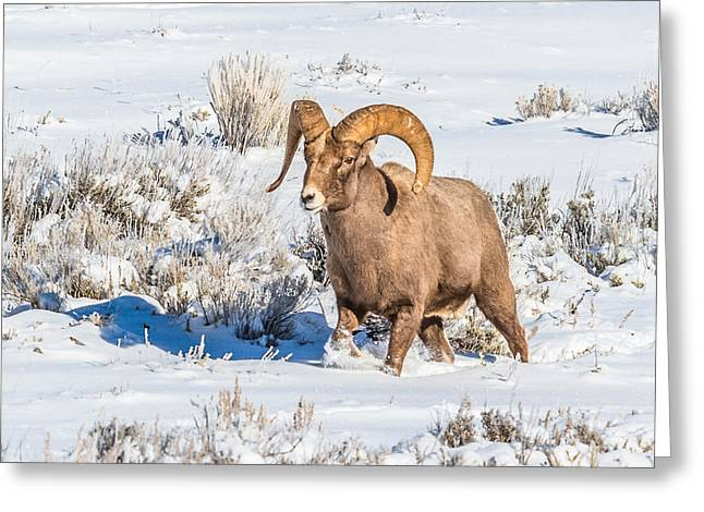 Greeting Card featuring the photograph Ram In Rut by Yeates Photography