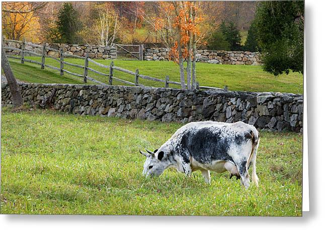 Randall Cattle Cow Square Greeting Card