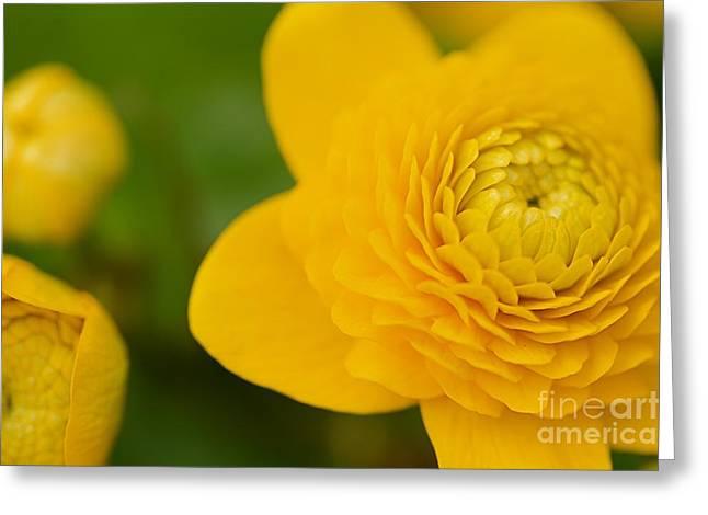 Ranunculaceae.  Yellow Flower. Greeting Card