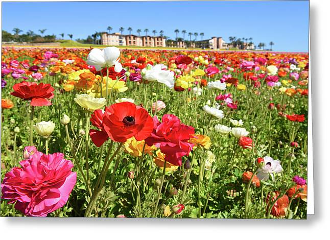Greeting Card featuring the photograph Ranunculus by Dung Ma