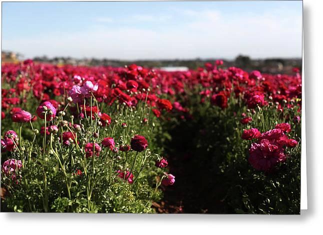 Ranunculus Field Greeting Card