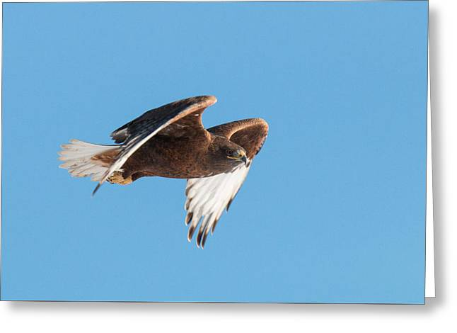 Rare Dark Morph Ferruginous Hawk In Flight Greeting Card by Tony Hake