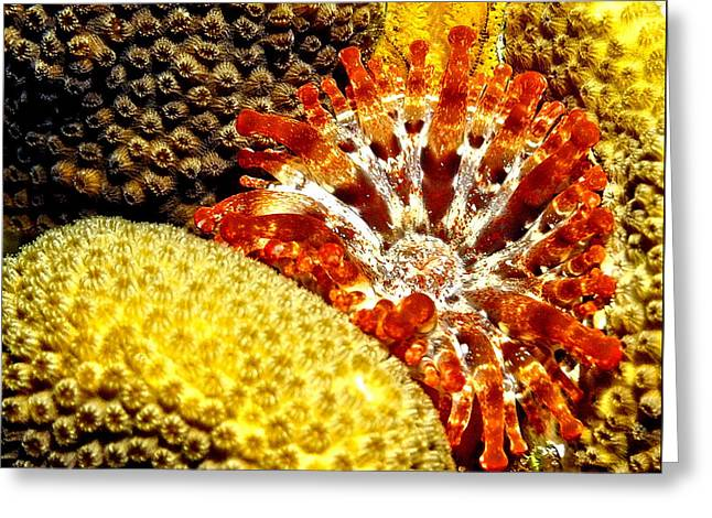 Rare Orange Tipped Corallimorph - Fire In The Sea Greeting Card by Amy McDaniel