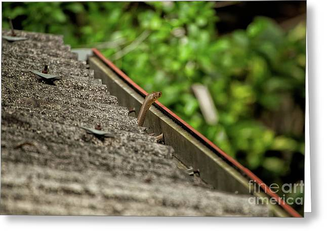 Rat Snake Greeting Card by Venura Herath
