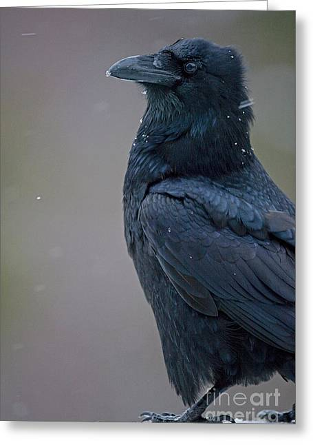 Raven In Snow Greeting Card by Tim Grams