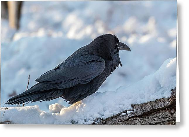 Greeting Card featuring the photograph Raven by Paul Freidlund