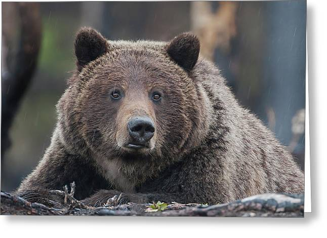 Raw, Rugged And Wild- Grizzly Greeting Card