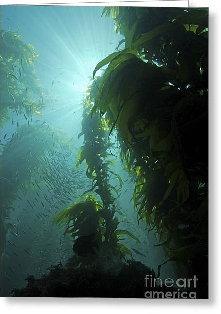 Rays Of Light Shining Through A Kelp Greeting Card by Brent Barnes