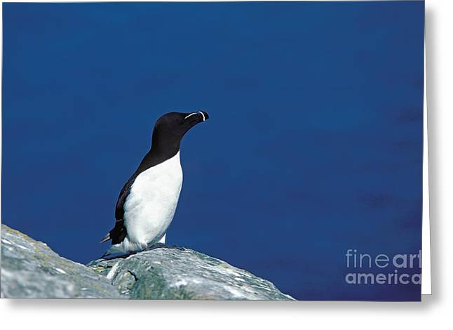Razor-billed Auk Alca Torda Greeting Card by Gerard Lacz