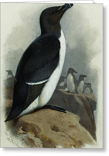 Razorbill Greeting Card by Archibald Thorburn