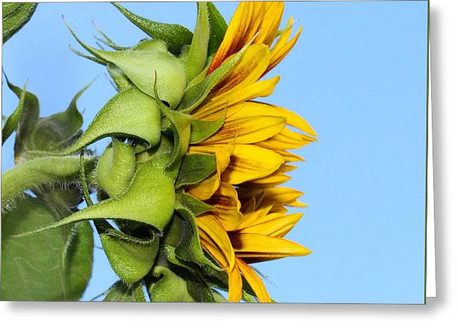 Reaching Sunflower Greeting Card