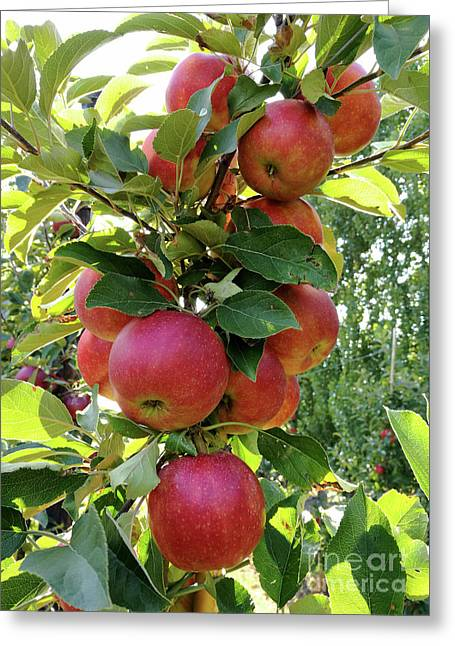 Ready For Apple Harvest Greeting Card